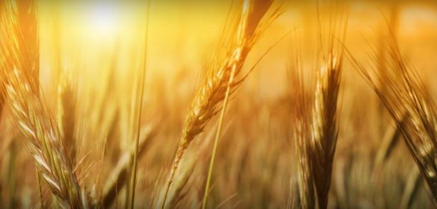 wheat09
